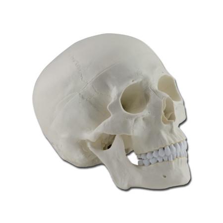 modello-didattico-cranio-umano-h1333