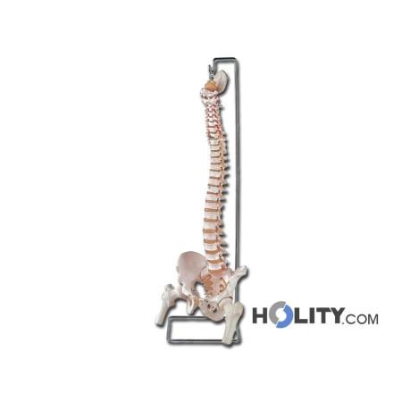 modello-colonna-vertebrale-con-femori-e-osso-sacro-h1337