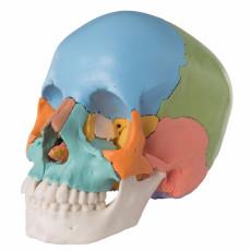 cranio-umano-didattico-scomponibile-in-22-parti-h31701