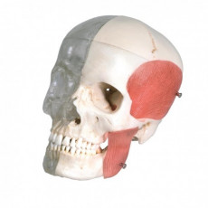 cranio-didattico-combinato-trasparente-osseo-h31702