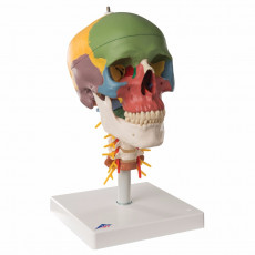 cranio-didattico-su-vertebre-cervicali-h31703