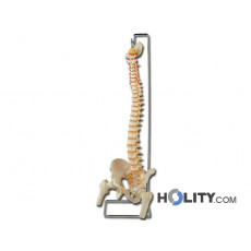 modello-colonna-vertebrale-h1335