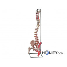 modello-colonna-vertebrale-h1336