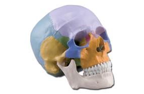 cranio-didattico-colorato-h1331