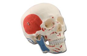 cranio-didattico-muscolare-h1332