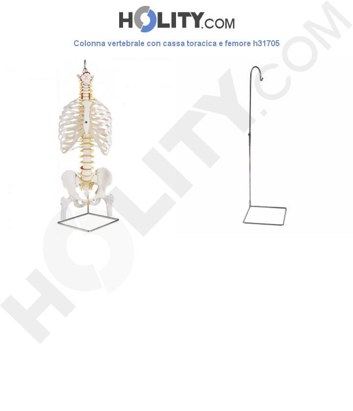 Colonna vertebrale con cassa toracica e femore h31705